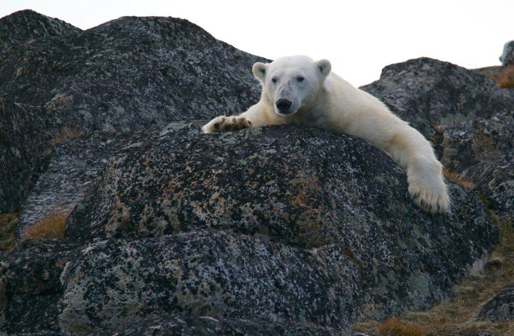 Nälginud jääkarud on sunnitud jahikombeid muutma: loomad tungivad asulatesse ja külvavad kohalike seas paanikat