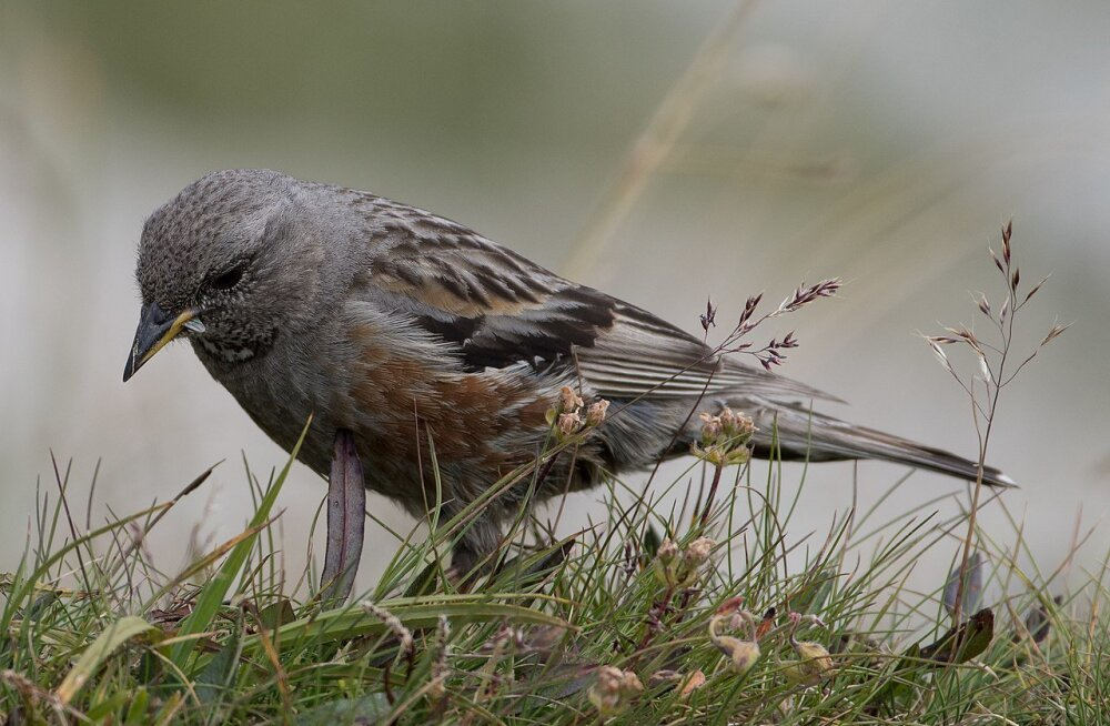 Mis sunnib linde mägedes kõrgemale või madalamale rändama?