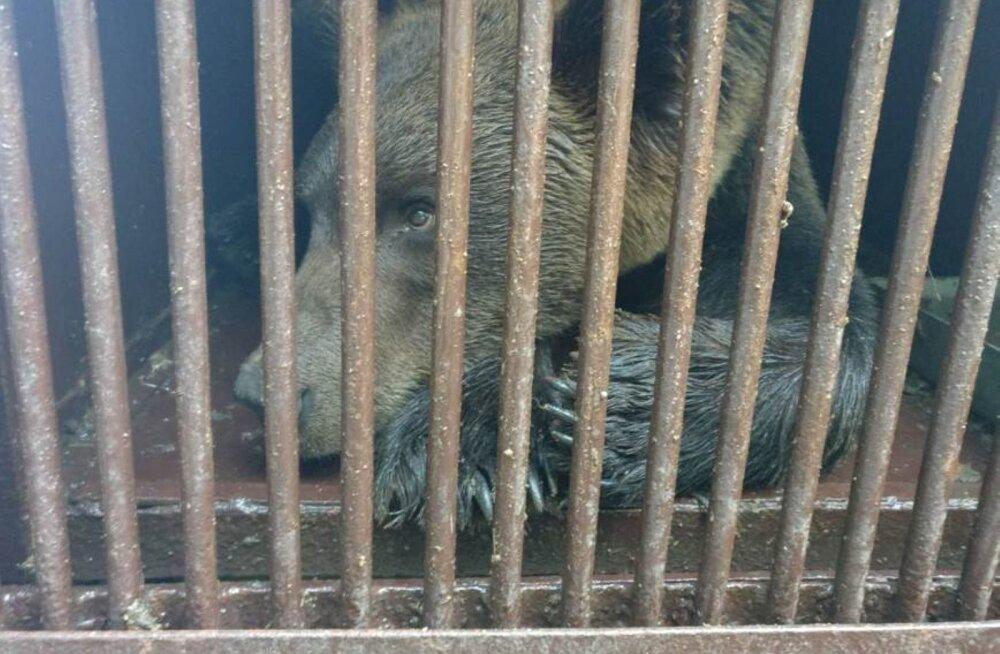 ФОТО: В Эстонии поймали одного из псковских медведей и отправили в Таллиннский зоопарк
