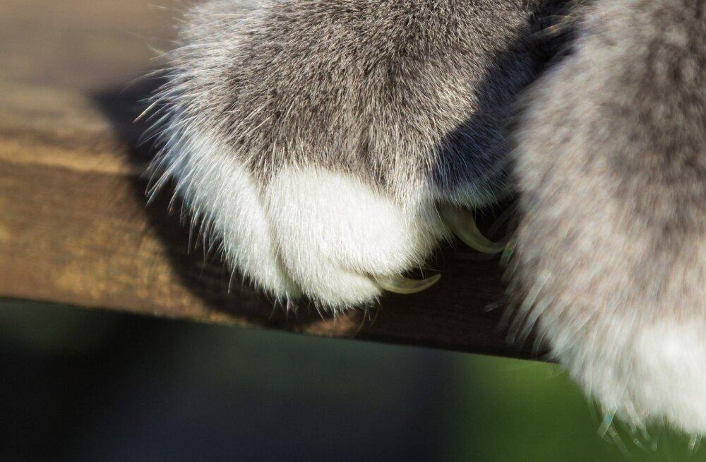 Kuidas võõrutada kass tüütust mööbli kraapimise kombest?