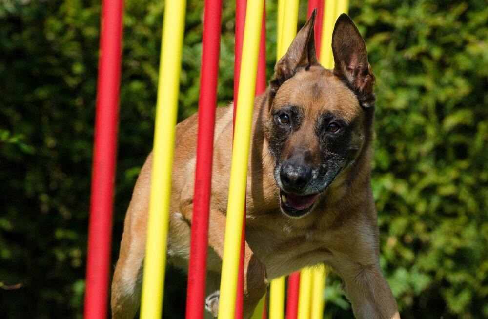 Eesti koerasportlane tõi maailmameistrivõistlustelt koju kuldmedali!