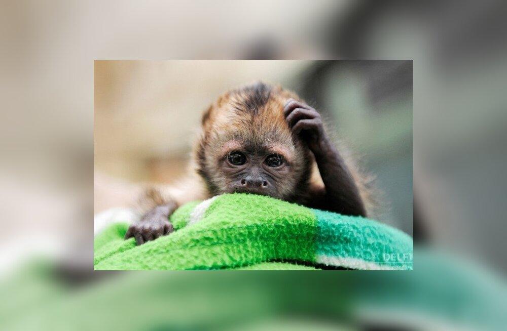 Kaputsiinahvipoiss Nadua Kölni loomaaias. Foto Clemens Bilan, AFP
