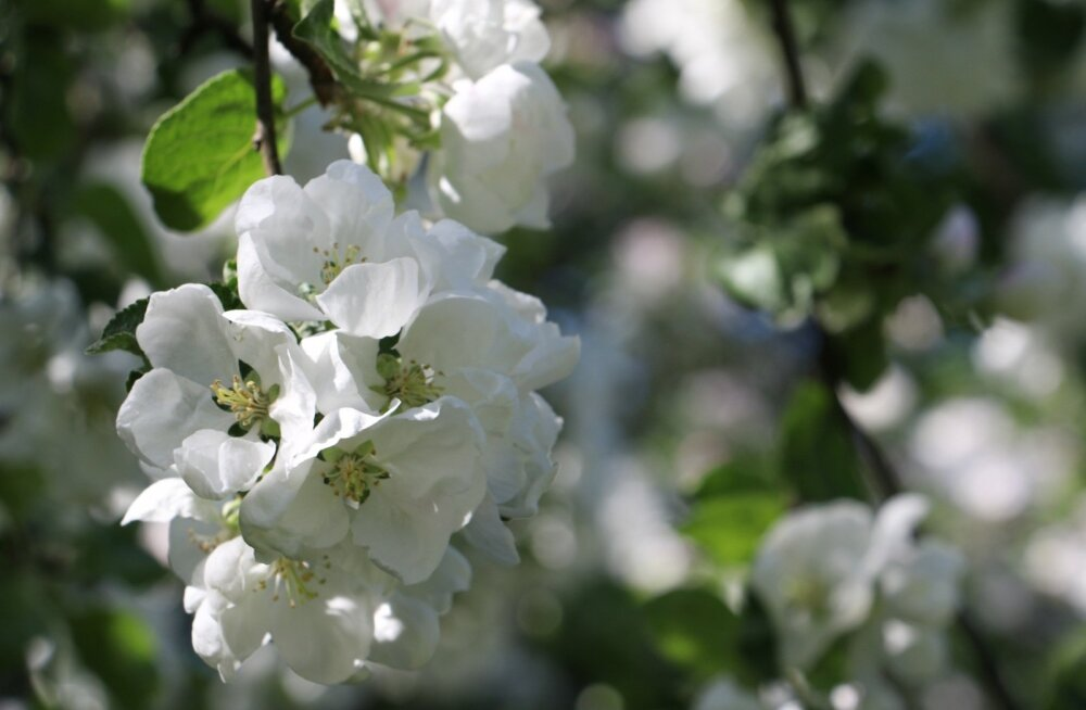 Õunapuud õitsevad, kevad