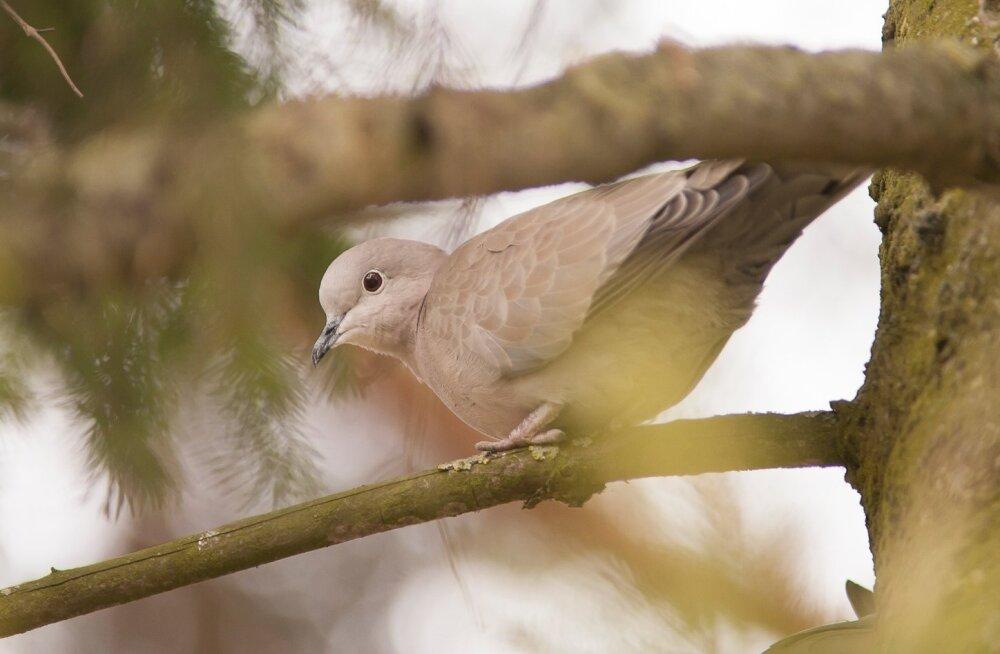 Eesti ornitoloogiaühing valis 2017. aasta linnuks turteltuvid