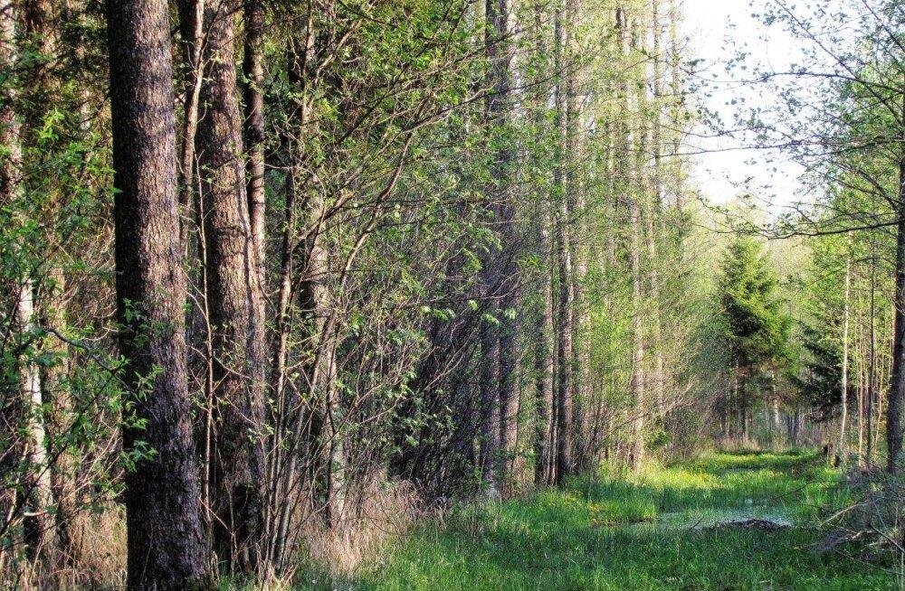 Leili metsalood | Sanglepik peab tuultele hästi vastu