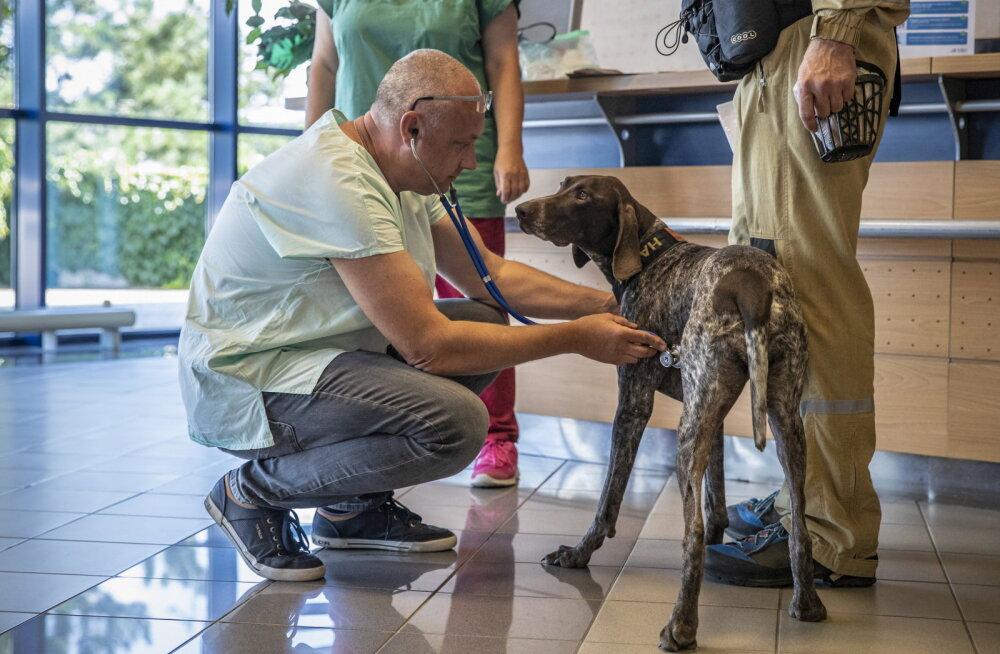 Helsingi Vantaa lennujaamas hakkavad koroonaviirusesse nakatunuid õige pea välja nuhkima koerad