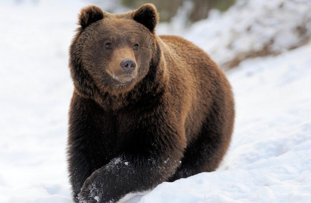 Esimesed karud on talveunest ärganud! Kuidas käituda kui kohtad metsas mõmmikut?