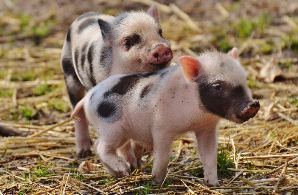 TEST: Pane oma teadmised proovile! Kas sa oskad ära arvata, millised loomad neist armsatest beebidest sirguvad?