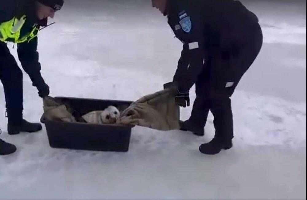 ВИДЕО: Пярнуские морские спасатели нашли в кустарнике тюлененка