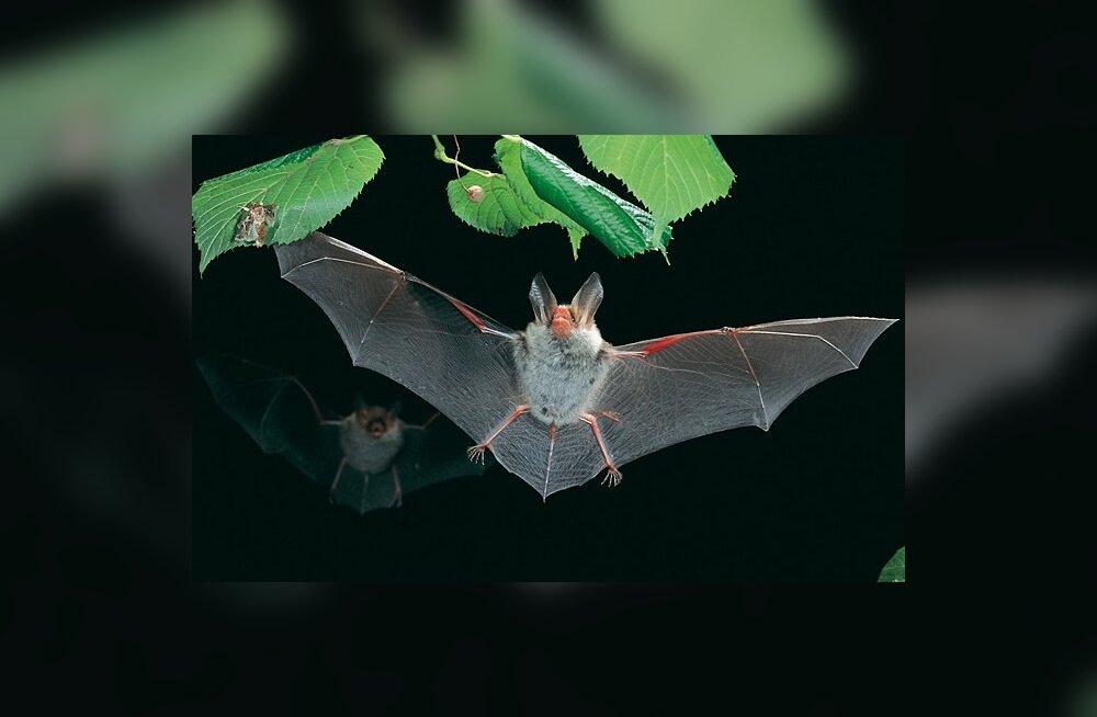 Hispaania nahkhiirte seas levib Ebola viiruse sugulane.