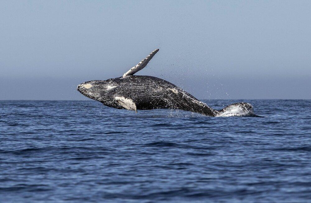 Jaapanis põrkas kiirlaev kokku vaalaga, pea sada inimest sai viga