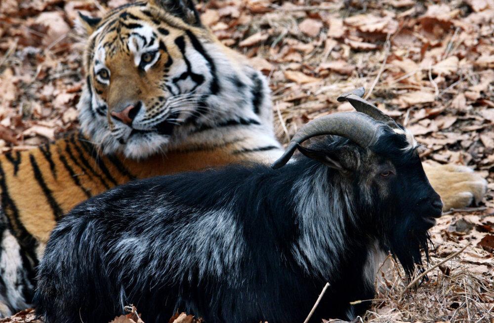 Что стало со знаменитой дружбой тигра Амура и козла Тимура