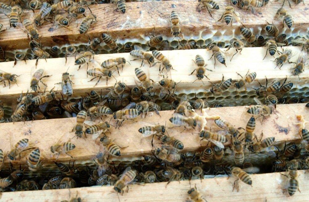 Mesinike liidu andmetel pole tänavu taimekaitsevahendite tõttu mesilasi hukkunud