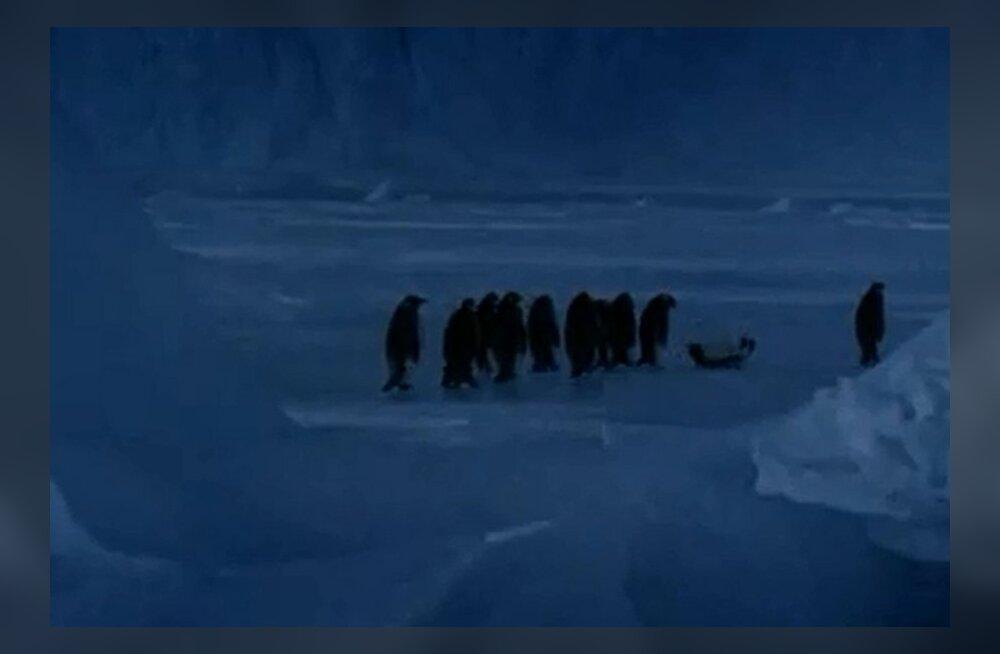 VEIDER VIDEO: Ka pingviinid turtsatavad, kui naljakat hetke näevad