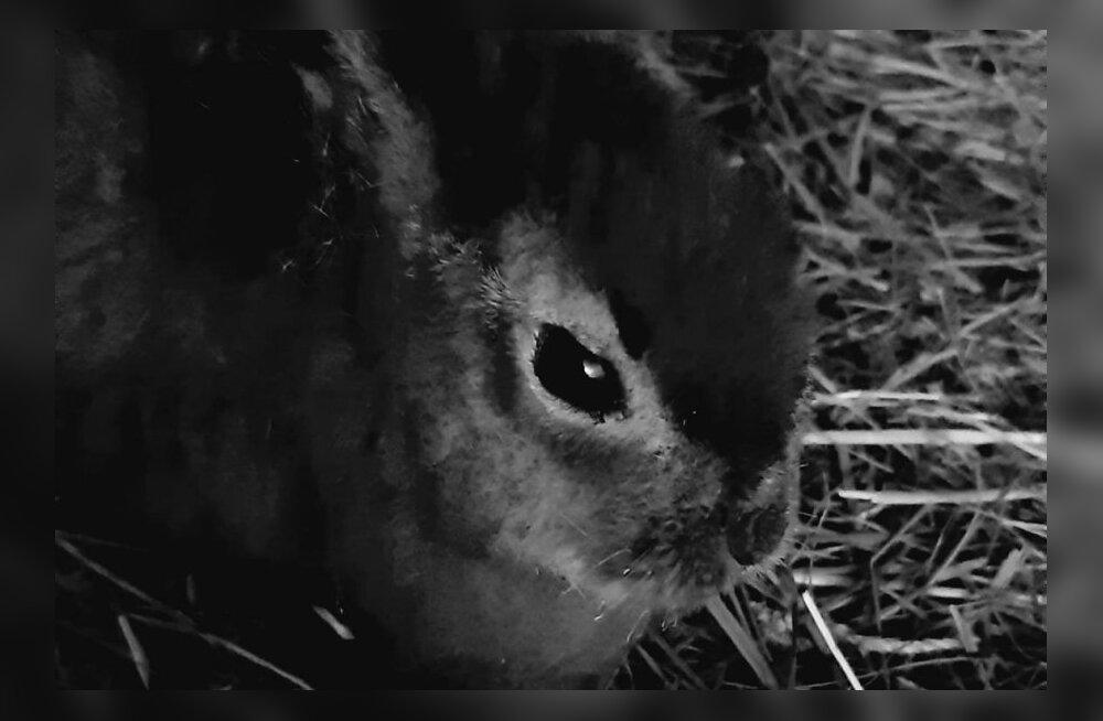 В назидание человечеству. Пострадавший во время пала травы в Мууга зайчонок умер