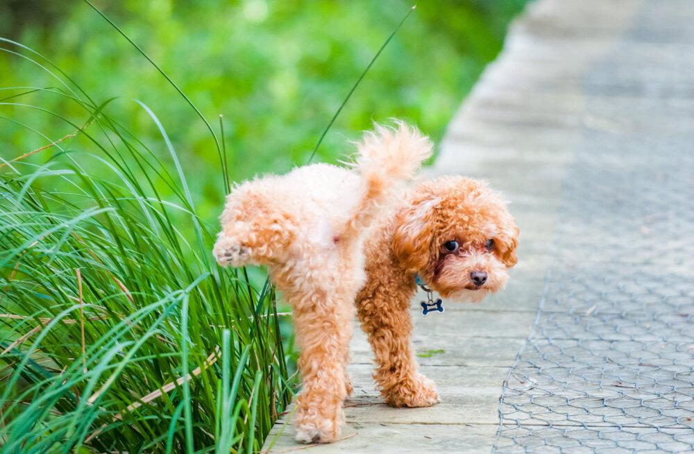 Uuring paljastas naljaka põhjuse, miks koerad tegelikult pissides nii kõrgele sihivad