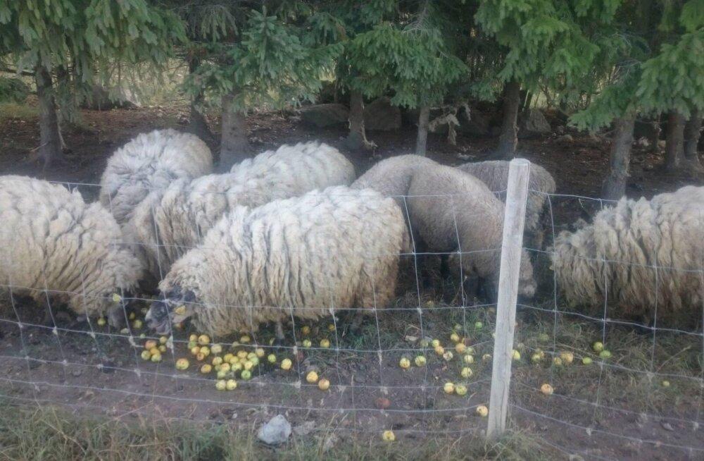 MEIE MAA   Muhu lambad panid sotsiaalmeedia kihama