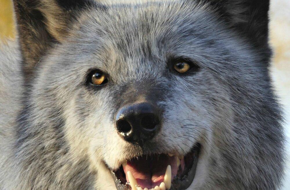 """""""Toida hunti, kuidas tahad..."""" teadlased tegid kindlaks, et hunt ei allu inimesele koeraga sarnaselt"""
