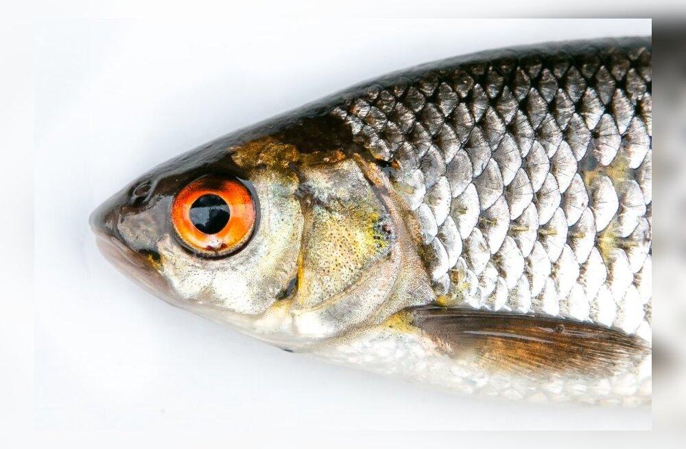 Kalamäng paneb proovile teadmised Eesti vetes elavatest kalaliikidest