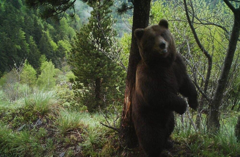 Enneolematu mõrvajuurdlus: Hispaanias algab ajaloo esimene kohtulik uurimine karu tapmises