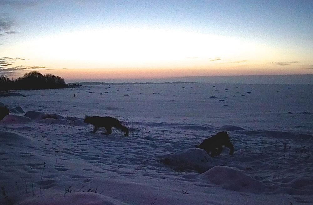 ŠAAKALIKAAMERA | Šaakaleid näeb harva, küll aga korraga kolme ilvest