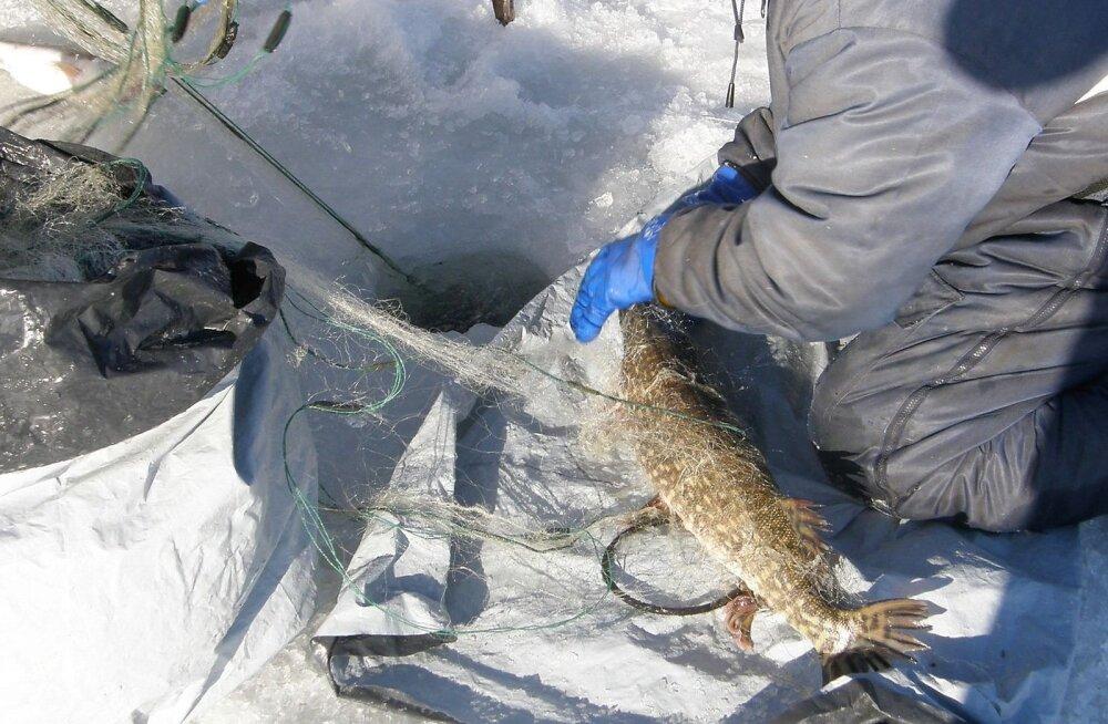 Loe, milliseid kalapüügirikkumisi on tänavu avastatud Peipsi, Lämmi- ja Pihkva järvel