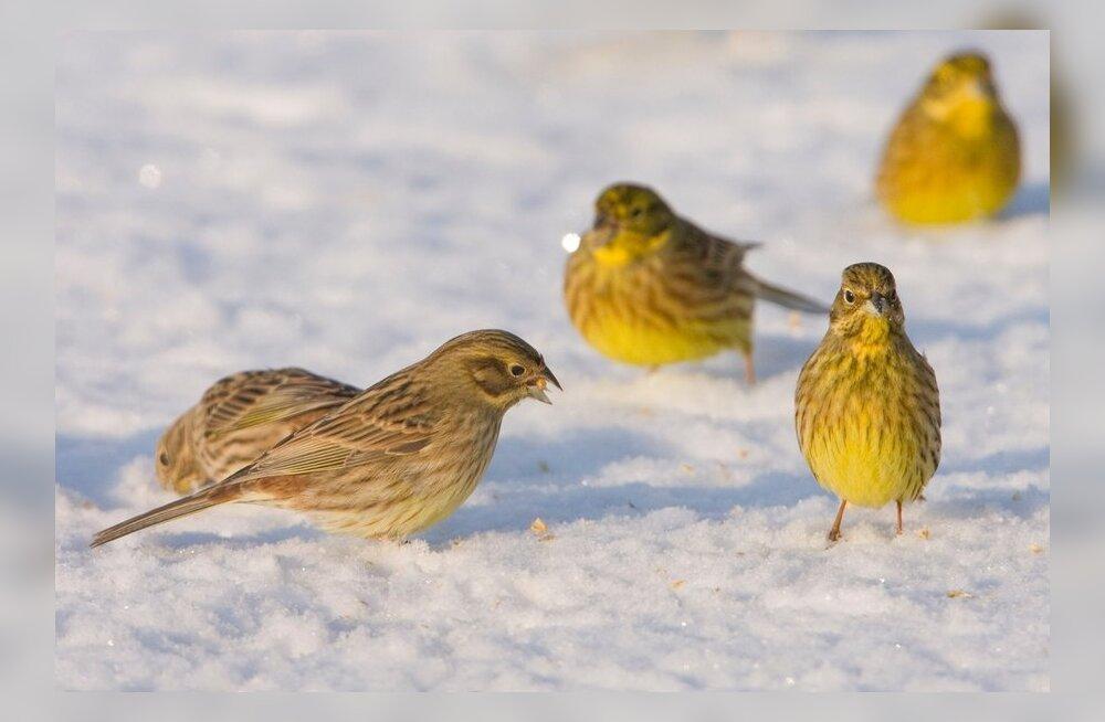 Talvikesed saavad söönuks lumele pudenenud viljast