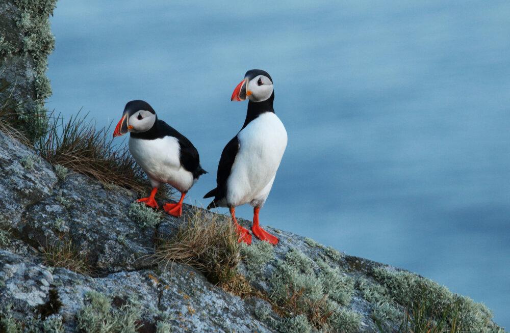 Vestlusi Põhjamaa papagoidega Norra väikesaarel