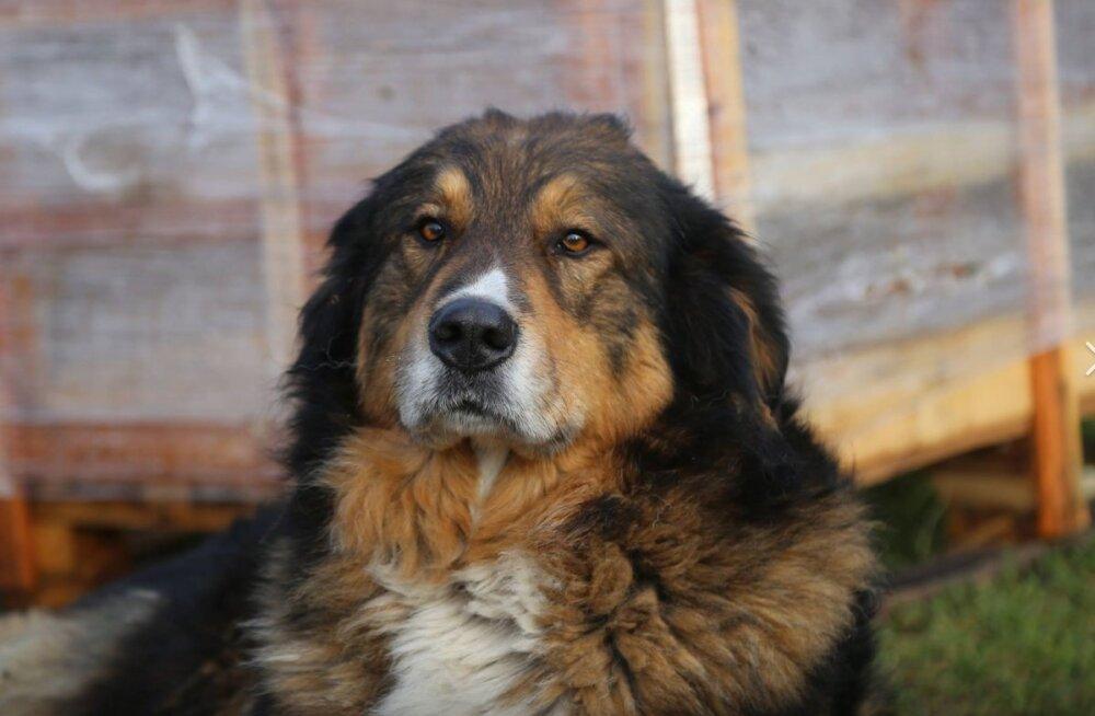Perekond jäi karmil moel oma lemmikust ilma: kodu lähedalt kuulihaavadega leitud koera surma põhjuse selgitab lahang