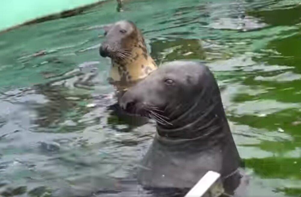 VIDEO | Loomaaia hülgepere kuulas loodushelisid nii suure huviga, et unustas isegi söömise