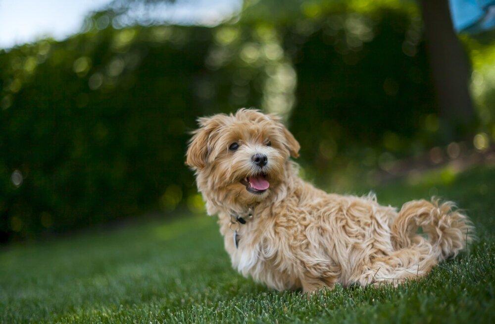 Koerte kehakeele selgitus ehk kui sinu koer rääkida oskaks, mida ta sulle ütleks
