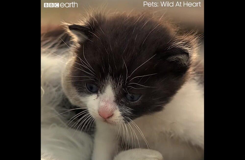 VIDEO | Lapsehoidja äpardus: kassipoeg tuleb kanalisatsioonikaevust päästa