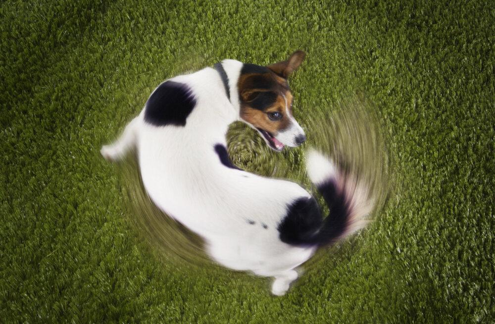 Miks koerad oma saba taga ajavad?