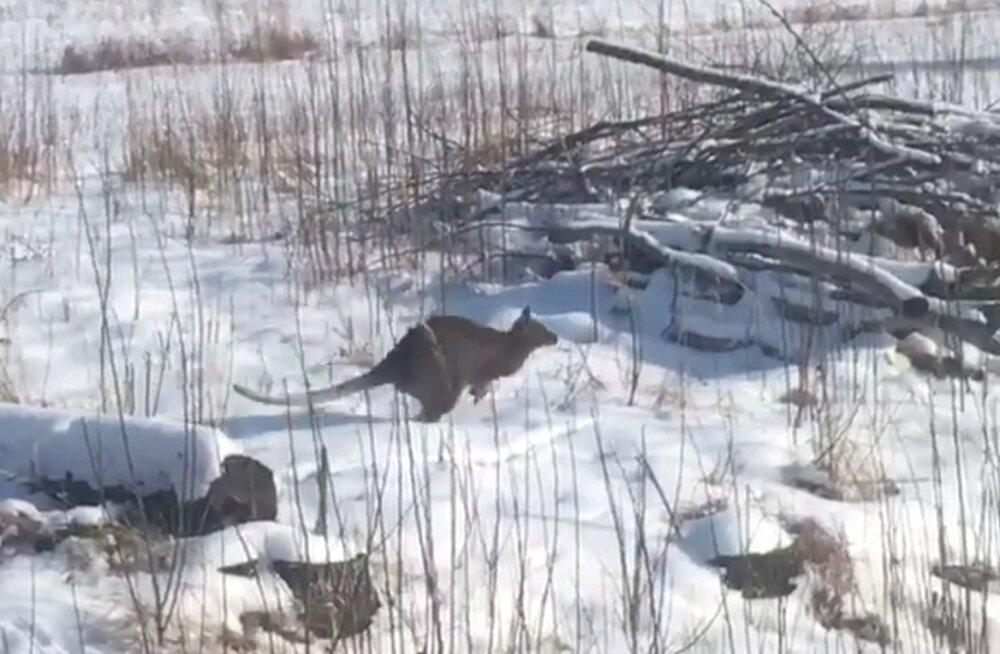 VIDEO | Lätis kalpsas lumisel põllul ringi känguru, kelle külamehed võrguga kinni püüdsid