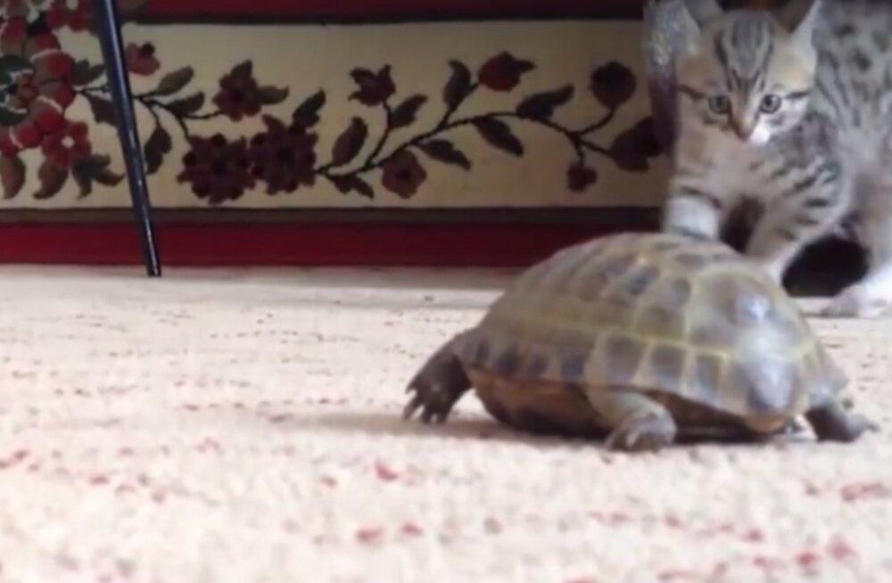 VIDEO | Kassipoja reaktsioon on jalustrabavalt naljakas, kui ta esimest korda elus kilpkonna kohtab!