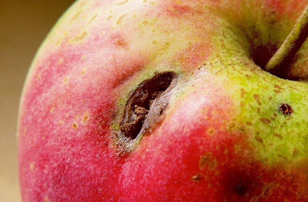 Õunauss sai kaela sahmaka arseeni.