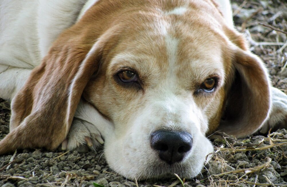 Ava oma silmad ja ära usu kõike: mida tähendab eaka koera kojuvõtmine tegelikult?