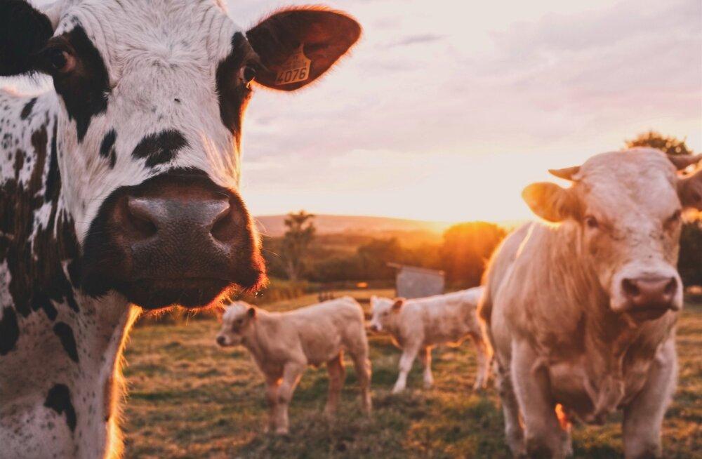 """Pärilik kõhumikroobide komplekt määrab lehma produktiivsuse ja """"heitgaaside"""" rohkuse"""
