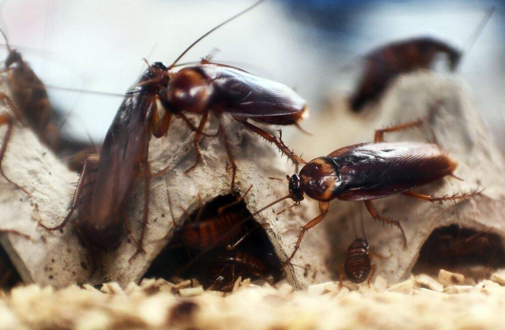 """Hiinlased tahavad spetsiaalses """"prussakavabrikus"""" kasvatada kuus miljardit putukat aastas"""