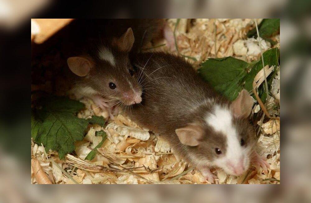 Autistliku inimese väljaheite viimine hiirtesse muutis hiirte käitumise autistlikuks