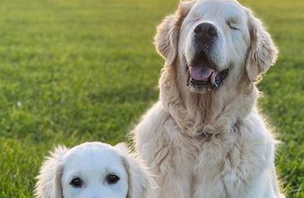Tõeline sõprus: kutsikas on pimedale retriiverile juhtkoeraks