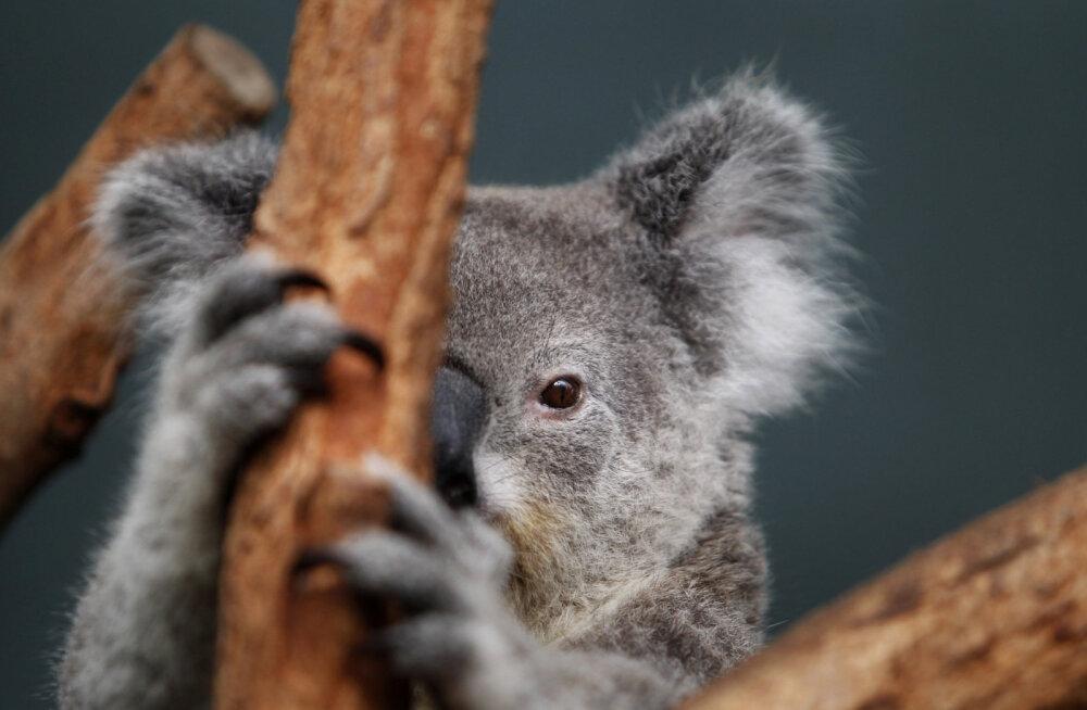 ВИДЕО   Наводнение в зоопарке Сиднея: промокших коал снимают с деревьев, аллигаторов загоняют в вольеры метлами