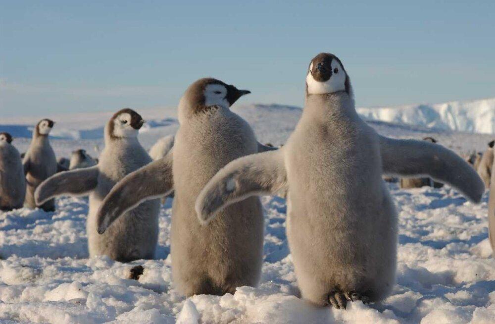 Eelajalooline pingviin oli rekordiliselt pikk