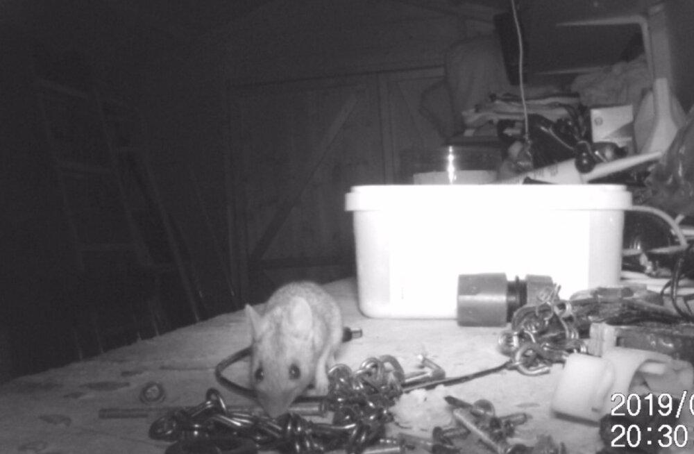VIDEO | Piiks-piiks ja kuur korras! Pensionär avastas, et hiireke on ta asjade koristamises ohjad enda kätte võtnud
