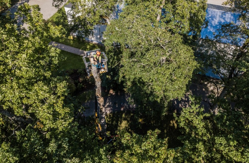 Arborismikoolitus Luual. Hakkama tuleb saada ka seal, kus pole ruumi puu langetamiseks. Selleks saetakse puu ladvast alates tükkideks ja tükid saadetakse köitega maapinnale.