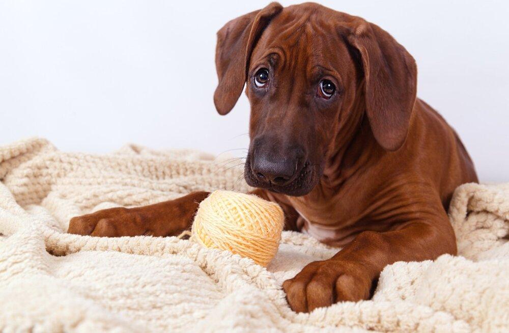 Ka niidikera võib emaks saada tahtvale koerale kutsikat meenutada.