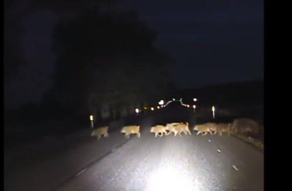 VIDEO | Mitu looma kokku loed? Valgamaal ületas teed suur metsseakari