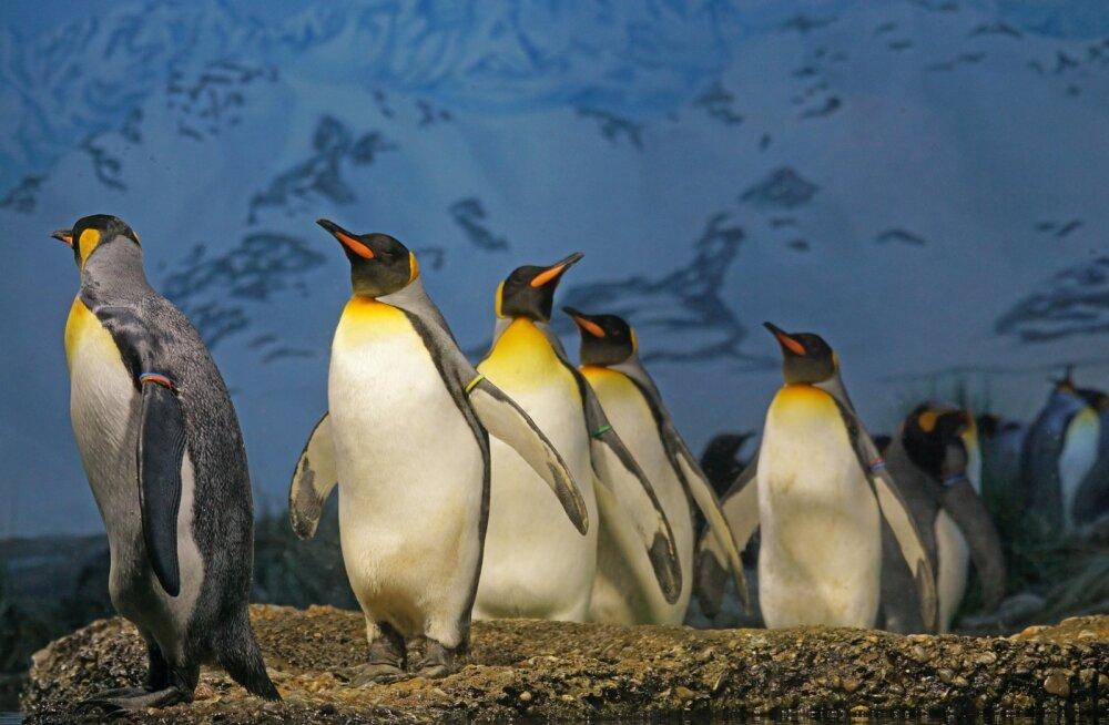 Teadlased on hämmingus: maailma suurim kuningpingviinide koloonia on 30 aastaga pea täielikult hävinenud