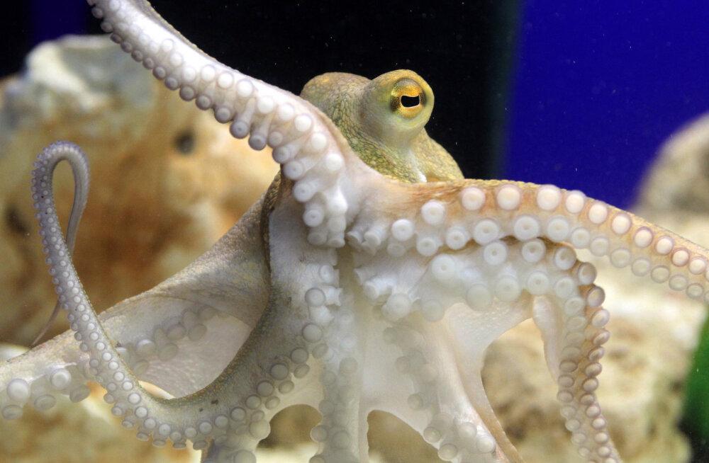 Tulnukad ookeanis? Ulmeline teadustöö väidab, et kaheksajalad on kosmilist päritolu