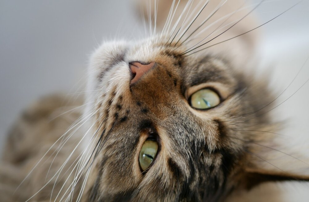 Üks või kaks kassi: kas ja kuidas kasse tutvustada?